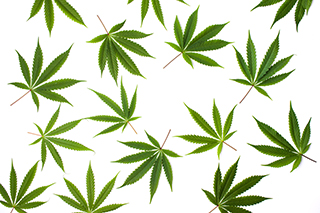 marijuanaleaves_whitebackground_article